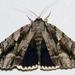 Catocala flebilis - Photo (c) Stott Noble, osa oikeuksista pidätetään (CC BY-NC)