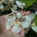 Catalpa speciosa - Photo Ningún derecho reservado