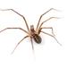 Arañas Filistátidas - Photo (c) Ivan Magalhaes, algunos derechos reservados (CC BY-NC)