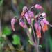 Kalanchoe laxiflora - Photo (c) David Torres, osa oikeuksista pidätetään (CC BY-NC)