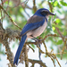 Scrub-Jays and Allies - Photo (c) Jamie Chavez, some rights reserved (CC BY-NC)