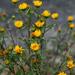 Grindelia integrifolia - Photo (c) peardg, algunos derechos reservados (CC BY)