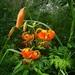 Lilium debile - Photo (c) Boris Bolshakov,  זכויות יוצרים חלקיות (CC BY-NC)