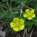 Silverleaf Cinquefoil - Photo (c) Anita363, some rights reserved (CC BY-NC-SA), uploaded by Anita