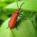 Pyrochroidae - Photo (c) Cécile Bassaglia, algunos derechos reservados (CC BY-NC-SA)