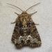 Oligia strigilis - Photo (c) Nick Block, algunos derechos reservados (CC BY)