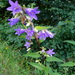 Nettle-leaved Bellflower - Photo (c) Zdeňka Nováková, some rights reserved (CC BY-NC)