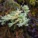 Sphaerophoraceae - Photo (c) pfly, algunos derechos reservados (CC BY-SA)