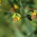 Euphorbia polygalifolia - Photo (c) José Luis Romero Rego, some rights reserved (CC BY-NC)