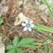 Sisyrinchium mucronatum - Photo (c) John Ratzlaff, algunos derechos reservados (CC BY-NC-ND), uploaded by J. Allen Ratzlaff
