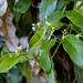 Parsonsia - Photo (c) Tony Rodd, μερικά δικαιώματα διατηρούνται (CC BY-NC-SA)