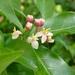 Gynochthodes jasminoides - Photo (c) John Tann, algunos derechos reservados (CC BY)