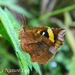 Callidulidae - Photo (c) 112602805110920073392,  זכויות יוצרים חלקיות (CC BY-NC-SA), uploaded by Alok Mahendroo