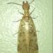 Corydalus luteus - Photo (c) Pedro Alanis, algunos derechos reservados (CC BY-NC)