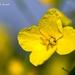 Brassica napus - Photo (c) Marcello Consolo, μερικά δικαιώματα διατηρούνται (CC BY-NC-SA)