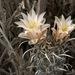 Sclerocactus papyracanthus - Photo (c) Ad Konings, osa oikeuksista pidätetään (CC BY-NC)