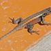 Sceloporus teapensis - Photo (c) Jerry Oldenettel, osa oikeuksista pidätetään (CC BY-NC-SA)