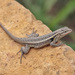 Rose-bellied Lizard - Photo (c) Lauren Sobkoviak, some rights reserved (CC BY-NC-ND)