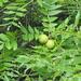 Juglans nigra - Photo (c) charley, μερικά δικαιώματα διατηρούνται (CC BY-NC)