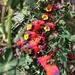 Tropaeolum tricolor - Photo (c) Mauricio Fuentes Garrido, μερικά δικαιώματα διατηρούνται (CC BY-NC)