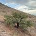 Quercus chihuahuensis - Photo (c) Juan Diego Carrillo, alguns direitos reservados (CC BY-NC)