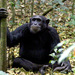 Eastern Chimpanzee - Photo (c) gillbsydney, some rights reserved (CC BY-NC)
