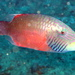 Linedcheek Wrasse - Photo (c) Richard Ling, some rights reserved (CC BY-NC-ND)