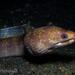 Echidna polyzona - Photo (c) Dan Schofield, alguns direitos reservados (CC BY)