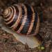 Helix albescens - Photo (c) Marina Gorbunova, algunos derechos reservados (CC BY-NC)