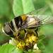 Plushback Flies - Photo (c) Sean McCann, some rights reserved (CC BY-NC-SA)