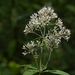 Sweet Joe-Pye-Weed - Photo (c) Mark Kluge, some rights reserved (CC BY-NC-ND)