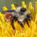 Bombus rufocinctus - Photo (c) Denis Doucet,  זכויות יוצרים חלקיות (CC BY-NC)