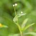 Persicaria sagittata - Photo (c) Suzanne Cadwell,  זכויות יוצרים חלקיות (CC BY-NC)