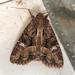 Mesapamea secalis - Photo (c) Pentti Ketola, algunos derechos reservados (CC BY-NC)