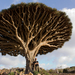 Dragon Blood Tree - Photo (c) Alexandre Baron, some rights reserved (CC BY-NC-SA)