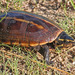 Striped Mud Turtle - Photo (c) Mary Keim, some rights reserved (CC BY-NC-SA)