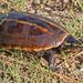 Tortuga de Pantano Rayada - Photo (c) Mary Keim, algunos derechos reservados (CC BY-NC-SA)