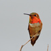 Rufous Hummingbird - Photo (c) Ad Konings, some rights reserved (CC BY-NC)
