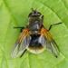 Mesembrina decipiens - Photo (c) camerondeckert, algunos derechos reservados (CC BY-NC)