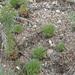 Chamaerhodos erecta - Photo (c) Derek Anderson, algunos derechos reservados (CC BY-NC)