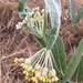 Woolly Milkweed - Photo (c) Paul G. Johnson, some rights reserved (CC BY-NC-SA)
