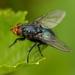 Cynomya mortuorum - Photo (c) Bart  Wursten, algunos derechos reservados (CC BY-NC-SA)