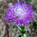 American Basketflower - Photo (c) Cosmic Cat, some rights reserved (CC BY-NC-ND)