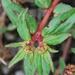Euphorbia nocens - Photo (c) Allen Coombes, algunos derechos reservados (CC BY-NC)