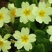 Primroses - Photo (c) dinilu, some rights reserved (CC BY-NC-SA)