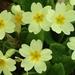 Prímulas o Primaveras - Photo (c) dinilu, algunos derechos reservados (CC BY-NC-SA)