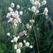 Eryngium yuccifolium synchaetum - Photo (c) D. Tilson,  זכויות יוצרים חלקיות (CC BY-NC)
