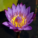 Water-Lilies - Photo (c) George Shepherd, some rights reserved (CC BY-NC-SA)