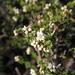 Cryptandra tomentosa - Photo (c) Ralph Foster, algunos derechos reservados (CC BY-NC)