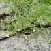 Moehringia diversifolia - Photo (c) Harald Komposch, algunos derechos reservados (CC BY-NC)